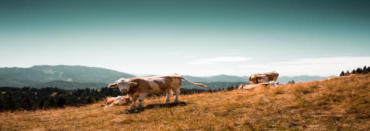 Stomach Fluid In Cows Observed To Breakdown Common Plastics
