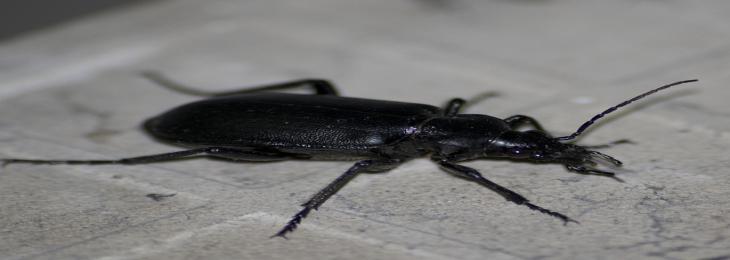 Teflon Outperformed by Natural Beetle Juice